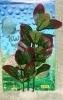 Rostlina s tmavými listy s fialovým olemováním - 20 cm