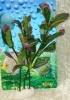 Rostlina s tmavě zelenými listy, s červeným vlnitým olemováním - 20 cm