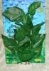 Rostlina s velkými tmavě zelenými listy - 20 cm