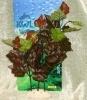 Rostlina se zeleno - červenými listy - 25 cm