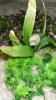Rostlina se světle zelenými, mechovitými listy - 15x15 cm