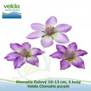 Klematis fialový 10-13 cm, 3 kusy - Velda Clematis purple