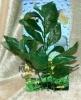 Rostlina s tmavě zelenými listy - 25 cm