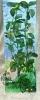 Rostlina s tmavými listy a žlutými žilkami - 35 cm
