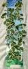 Rostlina s muškátovými bílo - růžovo - zelenými listy - 46 cm