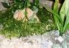 Rostlina se světle zelenými kadeřavými listy - 26x26 cm