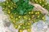 Rostlina se žlutými růžemi - 26x26 cm
